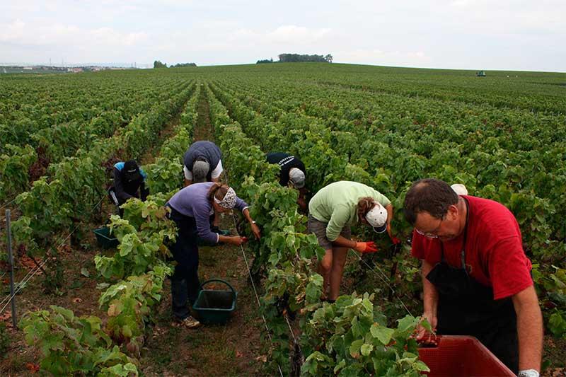 Champagne Trichet Lorain - Vendanges 2011