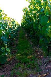 Champagne Trichet Lorain - Enherbement naturel des vignes
